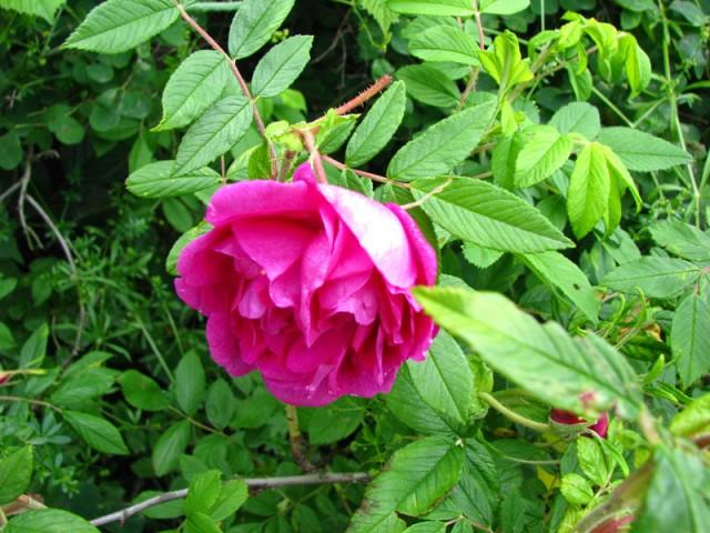 Za Dzikiej Róży zapachem idź na zawsze upojony wśród dróg – będzie cię wiódł jak czarodziejski flet i będziesz szedł, i będziesz szedł, aż zobaczysz furtkę i próg. Dla Dzikiej […]